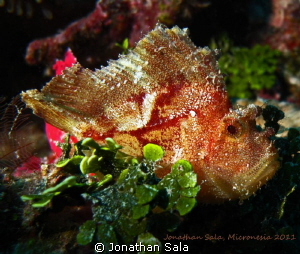Leafe Scorpionfish by Jonathan Sala 